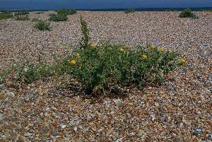 Yellow horned poppy on Pevensey Beach